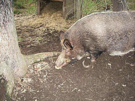 Pig at the Stables - 2003