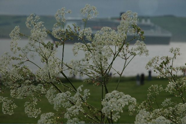 QM2 arriving behind dew on Queen Anne's lace