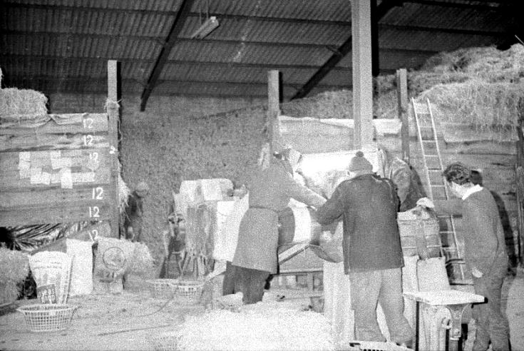 Inside the tattie sheds at Rosefarm.