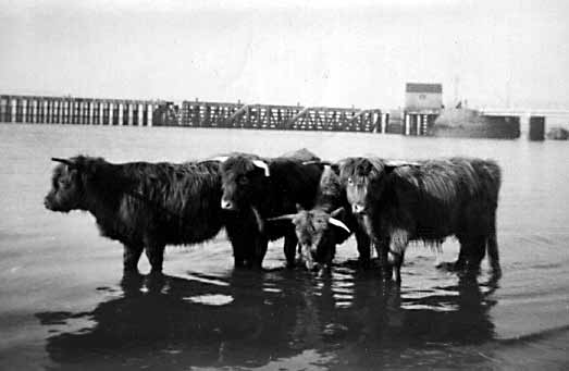 Highland Cattle - c1937