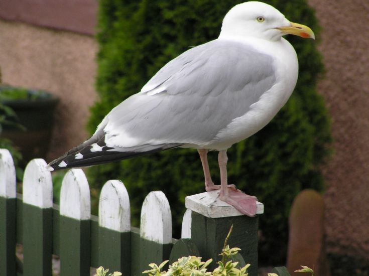 Tame Seagull in front of Stornoway House, Shore Street