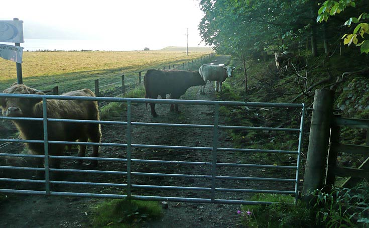 Cows on the Sewage Farm Road making walking access difficult and hazardous