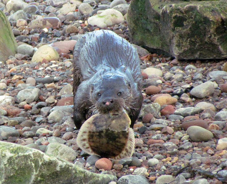 Otter snacking on a 'flookie' on Cromarty beach