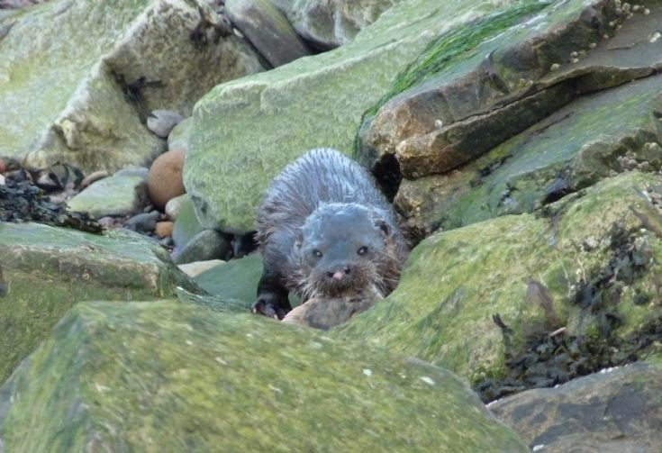 Otter with fish on Cromarty beach