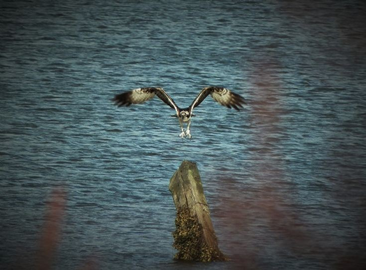 Osprey at Udale bay