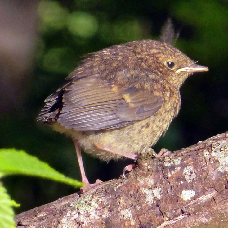 Wren chick on the Cromarty Estate