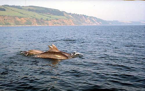 Dolphins off Eathie beach - 1997