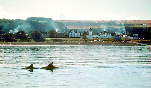 Dolphins with Cromarty in the background.