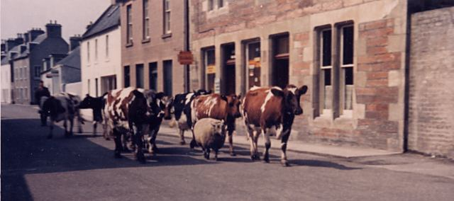 Cattle and a sheep on High St - c1960