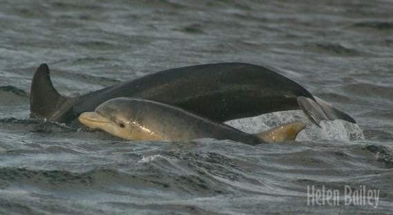 Moray Firth Dolphins - 2004